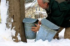 How to Tap your own Maple Syrup in a Suburban and Urban environment.