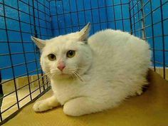 **SUPER URGENT**SPARKLE**KILLED TOMORROW/ JAN 9 2013/ WEDNESDAY* ONLY 6 MONTHS OLD**I BET GOOD FOOD-CLEAN WILL BE BEAUTIFUL****************My name is SPARKLE. My Animal ID # is A0954546.  I am a female white and gray domestic sh mix. The shelter thinks I am about 6 MONTHS old.  INFO ON FACEBOOK>>NYC URGENTS