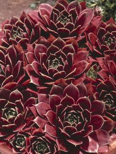 Sempervivum tectorum 6 inches by 20 inches wide. easy to grow and propagate/ award winning
