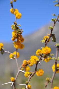 Espino en flor