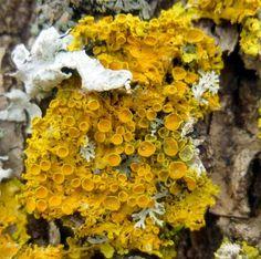 4. Poplar Sunburst Lichen