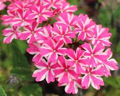 "Nature Art Photograph, Candy Stripe Verbena; Fine Art Visual Print, 8"" x 10""; Pink White Floral Art Photo Print; Peppermint Flowers"