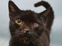 Brooklyn Center My name is SKITTLES. My Animal ID # is A1080807. – P I am a female black domestic sh. The shelter thinks I am about 5 YEARS old. I came in the shelter as a STRAY on 07/11/2016 from NY 11430, owner surrender reason stated was STRAY. MOST RECENT MEDICAL INFORMATION AND WEIGHT 07/15/2016 Exam Type RE-EXAM – Medical Rating is 3 C – MAJOR CONDITIONS , Behavior Rating is NONE, Weight 6.3 LBS. ASS- -LEFT EYE OPACITY -DENTAL CALCULUS GRADE 3-4 -NASAL DISCHARGE -OPEN WOUND O