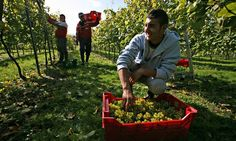 Romanian workers pick grapes in West Sussex.