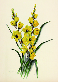 Flowers of South Africa, Cape Peninsula, Private portfolio, unknown artist. Botanical Drawings, Botanical Prints, South African Flowers, Vegetable Illustration, Vintage Seed Packets, Botanical Flowers, Botany, Trees To Plant, Painting & Drawing