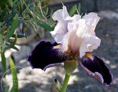 Bearded Iris | Rosehaven Cottage: A New Bearded Iris