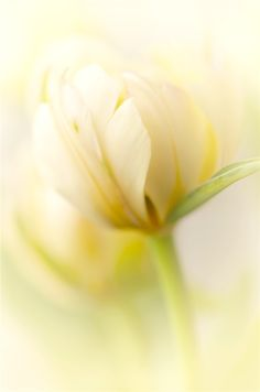 Pale yellow flower  | More pastel inspiration here: http://mylusciouslife.com/prettiness-luscious-pastel-colours/