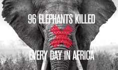 outrage over Cecil the lion, yet not a word from the leftists about the daily 'Elephant Jihad' by islamic poachers in Africa. Remember the 2013 massacre of Christians by al-shabaab muslim terrorists at the mall in Nairobi, Kenya?  That was financed in large part by the poaching of elephants for their ivory. Carnage in a mall doesn't count by leftists...(8/3/2015)