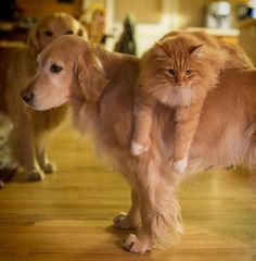 Goldens are so patient and tolerant  :)