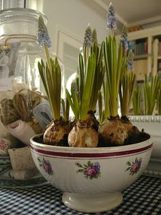 This spring - Grape hyacinth in the house