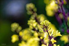 葉牡丹の花蕾