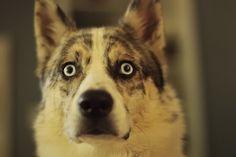 Siberian Husky / Australian Shepherd mix Husky Australian Shepherd Mix, Aussie Mix, Dogs, Animals, Live, Image, Animaux, Doggies, Animales