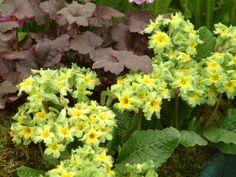 Primula 'Francisca' Plants, Flora, Plant, Planting