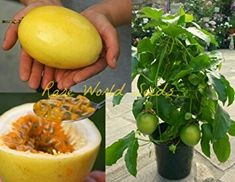 Yellow Passion Fruit, Dwarf Plants, Ripe Fruit, And July, Fruit Plants, Growing Seeds, Large Pots, Hydroponics, Sprouts