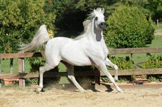AJA ANGELO (WH Justice x Aja Aaisha by Ruger AMW) 2009 grey stallion bred by Aja Arabians, UK