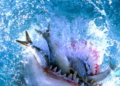 Tiger Shark Eating | Animals eating Animals: Sharks: Fearless man eaters or misunderstood ...