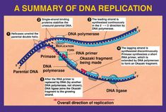 Week 25 DNA Replication | MrBorden's Rattler Blog 664
