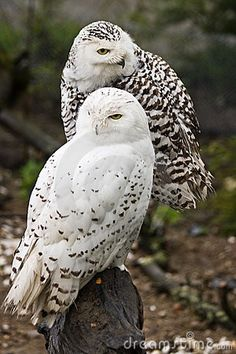 Brown snowy owls
