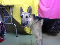 RESCUED! DEVORE,CA. EUTH LIST. 11/22/17. Carter ID#A685604. 5 yr. old male German Shepherd. Medical Waiver Required (injured paw). Arrived 11/17/17.