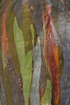 The rainbow eucalyptus brings art to nature, naturally  By:Shannon Dybvig