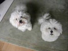 Synchronized Bichon Tricks - I think Stella and Lola should learn these... @Meredith Gilchrist