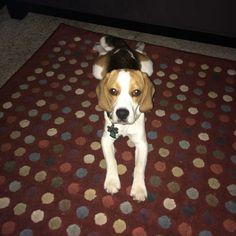 Beagle boy COCO