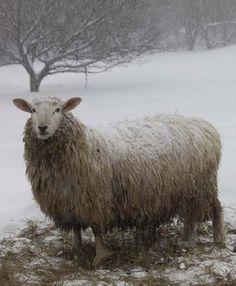 Border Leicester ewe. Beautiful photograph by Kristin Nicholas....