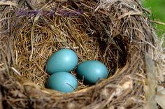 birds eggs - Google Search