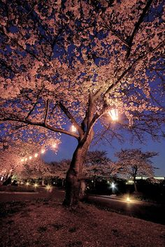 Lit-up cherry blossoms, Expo Commemoration Park, Osaka, Japan