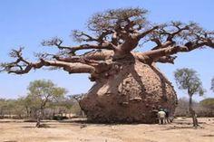 Old Trees Interior Trees Old trees interior & innenraum alter bäume & vieux arbres Socotra, Art Et Nature, Nature Tree, Nature Pictures, Nature Nature, Giant Tree, Big Tree, Weird Trees, Tree Interior