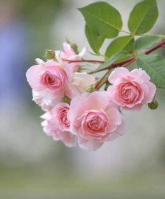 My Flower, Pretty Flowers, Pink Flowers, Rosa Rose, Flower Wallpaper, Mobile Wallpaper, Flower Photos, Nice Flower Picture, Beautiful Roses