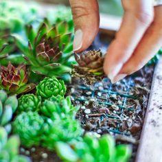Make your own living succulent art