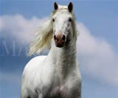mccafferty's american white draft horses - Bing images Draft Horses, Bing Images, American, Animals, Animaux, Animal, Animales, Animais