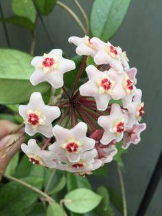 Hoya carnosa, The Wax Vine Heat Pack, Botanical Gardens, Vines, Roots, Wax, Bloom, Germany, Basket, Flowers