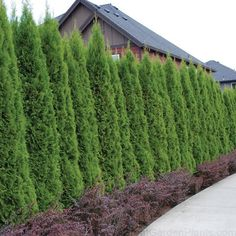 Quickly grow a privacy hedge for your home with these fast-growing arborvitae. Arborvitae Landscaping, Privacy Landscaping, Backyard Privacy, Front Yard Landscaping, Landscaping Ideas, Pergola Ideas, Cheap Pergola, Modern Landscaping, Fence Ideas