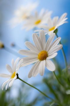 Simply Beautiful #Daisy type #Flower against #Blue #Sky