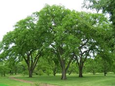 american elm tree - Google Search