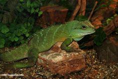 Chinese Water Dragon | chinese water dragon physignathus cocincinus chinese water dragon ... Chinese Water Dragon, Reptiles, Pets, Animals, Animales, Animaux, Animal, Animais, Animals And Pets