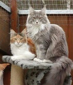 Maine Coon: Blue Classic Tabby and White