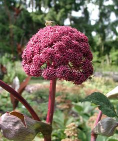Angelica gigas - Rote Engelwurz