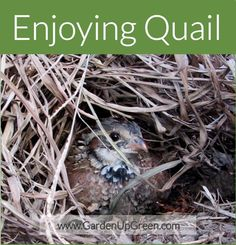 Quail is an experience all in its' own. Sharing the process of enjoying the beauty of these neat birds as I watch the adult quail raise their chicks. Raising Quail, Raising Chickens, Turkey Breeds, Farm Life, Farm House, Natural Ecosystem, Game Birds, Hobby Farms, Farm Gardens