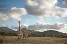 Thanda Private Game Reserve / south africa