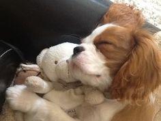 Cavalier King Charles Spaniel & Teddy