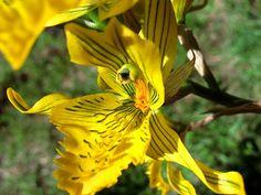 Chloraea sp. -  Flickr - Photo Sharing!