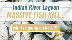 Since March 23, dead fish have filled the waters of Florida's Indian River Lagoon from Melbourne to Titusville. Volunteers are scooping up the carcasses and depositing them in dumpsters provided by Brevard County. From there, the fish will head to...