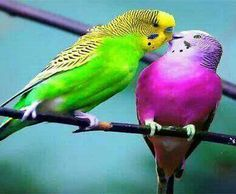 With their small size and sweet, affectionate personalities, budgie birds are one of the most popular parrot varieties and make good pets. Kinds Of Birds, All Birds, Cute Birds, Pretty Birds, Beautiful Birds, Animals Beautiful, Beautiful Couple, Exotic Birds, Colorful Birds