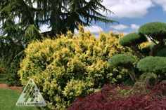 Taxus cuspidata Dwarf Bright Gold:  Each soft-yellow needle has a bright-green striation along its lenth, which produces a great color combo. The mid-size conifer has an upright branching habit that is wider than tall.