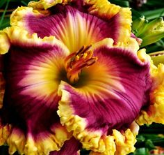 Daylily 'Castle Rock'