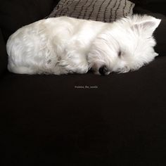 "3,585 Likes, 43 Comments - Westie Dogs <3 (@westiedogz) on Instagram: ""@emma_the_westie #westie #westies #westiegram #westiesofinstagram #westielove #westhighlandterrier…"""