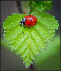 Ladybug on a heart-shaped leaf. I know, not a furry friend, but I love lady bugs :) Beautiful Bugs, Beautiful World, Photo Coccinelle, Heart In Nature, Tier Fotos, All Gods Creatures, Beautiful Creatures, Lady In Red, Pet Birds
